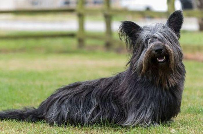 Rasy psów najbardziej zagrożone wyginięciem